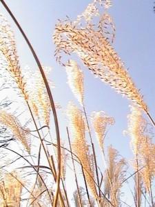 milkweed_sunshine